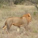 Safari 210